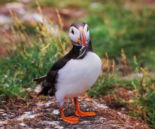 Maskonur z rybą w okresie panierowania na wyspach farne w anglii uk