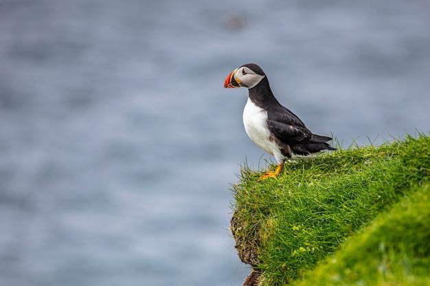 Maskonury atlantyckie na wyspach owczych.
