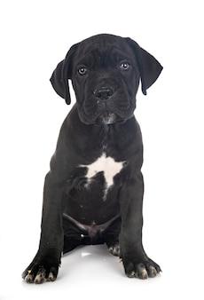 Mastif włoski szczeniak przed białym tle