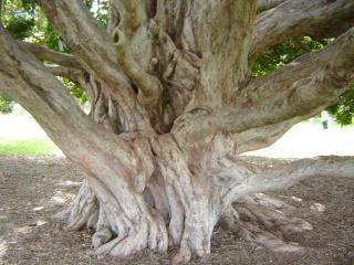 Masywne korzenie drzew