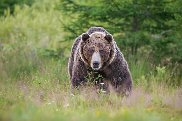 Masywny, agresywny męski niedźwiedź brunatny. ursus arctos. na letniej łące.