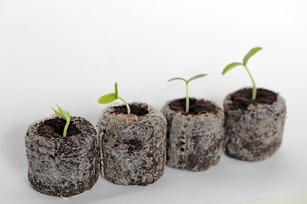 Materiał do sadzenia sadzonka. tabletki torfowe z zielonymi kiełkami