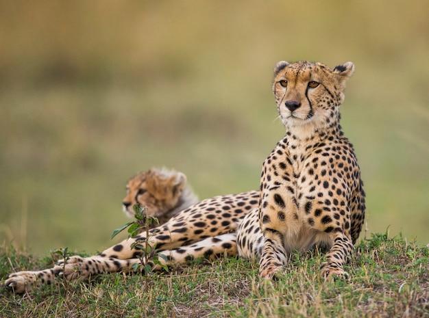 Matka geparda i jej młode na sawannie.