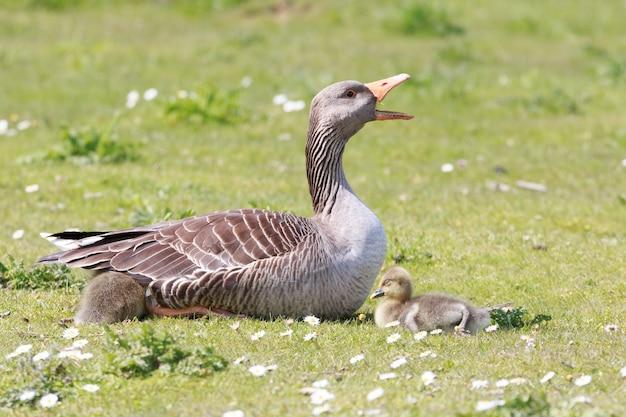 Matka gęsi chroniąca swoje śpiące dzieci