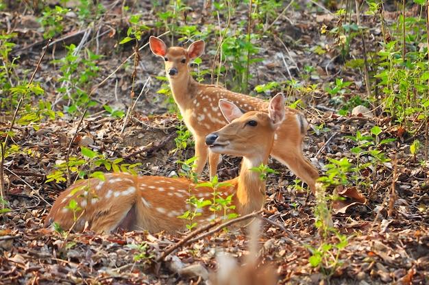 Matka i dziecko japońskie jelenie