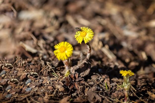Matka i macocha kwitną żółte wiosenne kwiaty pszczoła siedzi na kwiatku