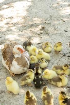 Matka kaczka z kaczątkami