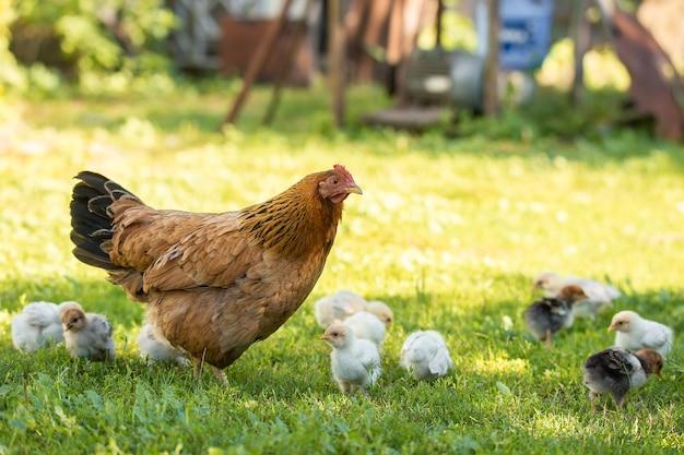 Matka kura z kurczakami w wiejskim podwórku. kurczaki w trawie na wsi przed zdjęciami słońca. gallus gallus domesticus. gospodarstwo ekologiczne drobiu.zrównoważona gospodarka.chów naturalny.kurczęta z wolnego wybiegu.