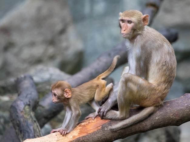Matka małpa i dziecko małpa siedzi na gałęzi drzewa.