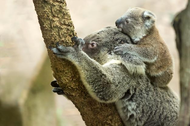 Matka miś koala z dziećmi na drzewie eukaliptusowym.