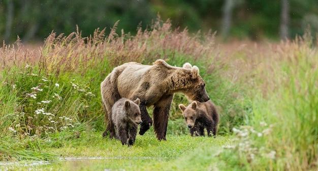 Matka niedźwiedź brunatny z młodymi na wolności