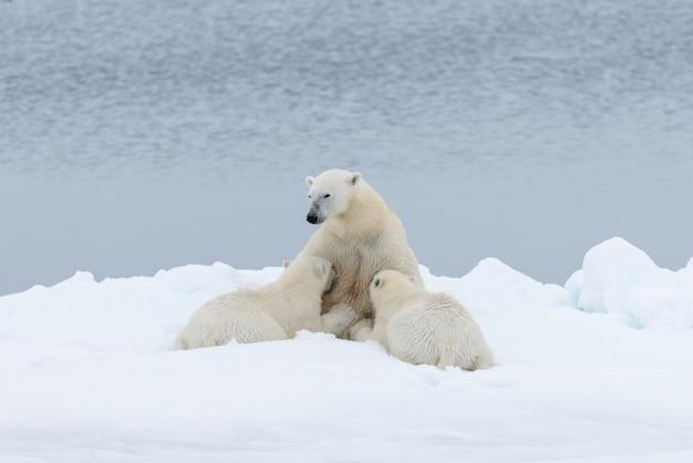 Matka niedźwiedź polarny karmi swoje młode na lodzie
