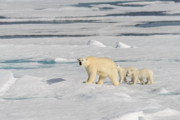Matka niedźwiedzia polarnego (ursus maritimus) i bliźniaczki na lodzie stada, na północ od svalbard w arktycznej norwegii