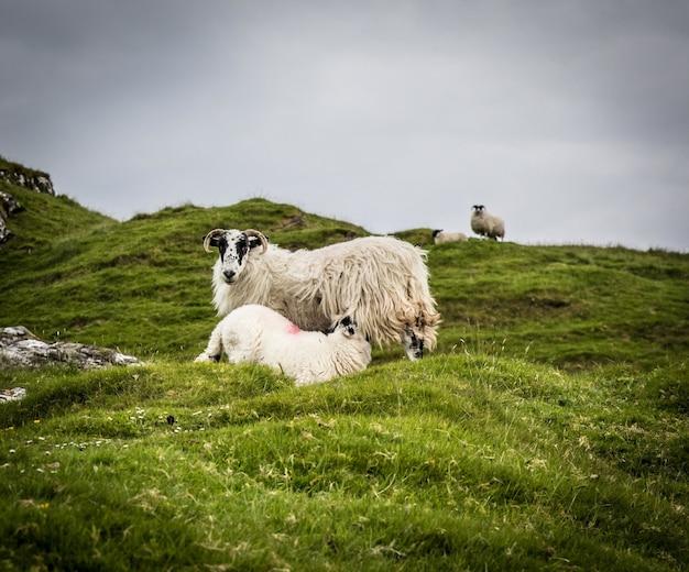 Matka owiec karmi swoje jagnię na zielonych polach w ponury dzień