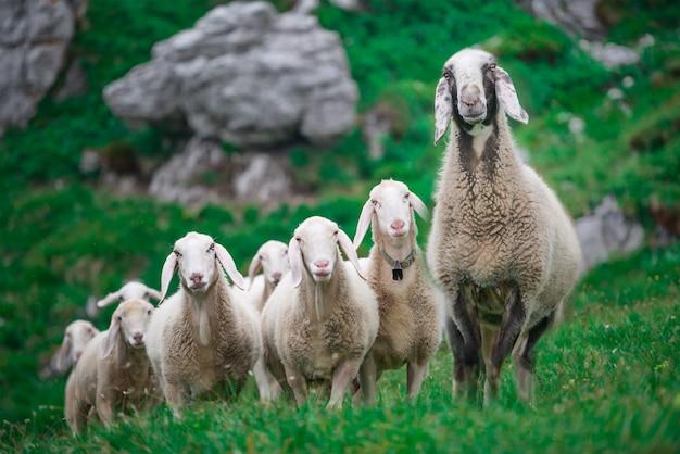 Matka owiec z grupą