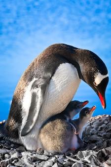 Matka pingwinka i jej dwoje dzieci na antarktydzie