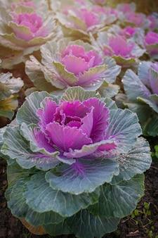 Matowe warzywa w polu na mroźny zimowy poranek. Mróz na kapuście w ogródzie.