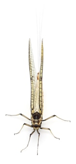 Mayfly - efemeryda danica, na białym tle