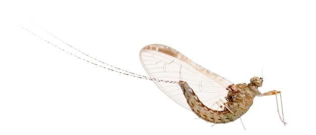 Mayfly, efemeryda, na białym tle
