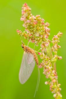 Mayfly (ephemeroptera) siedzi na roślinie.