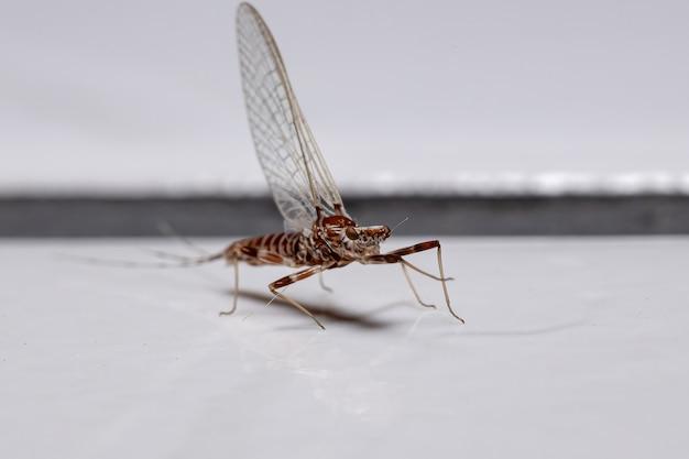 Mayfly widlaste z rodzaju thraulodes