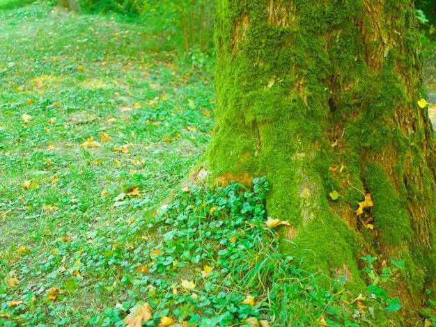 Mech pokrywający drzewo. głęboki las z wyśrodkowanym pniem drzewa porośniętym mchem w porannym świetle słonecznym