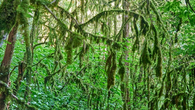 Mech w lesie. światło słoneczne w gałęziach drzew. soczi