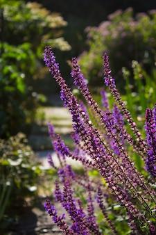 Mędrzec kwiat w lecie w ogródzie
