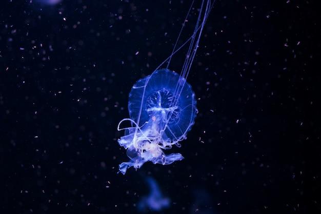 Meduza pod wodą, meduza, morskie zwierzę w wodzie, kolor niebieski