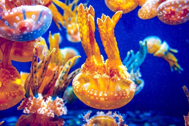 Meduza pomarańczowa