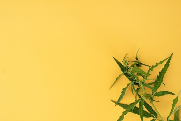 Medycyna alternatywna. roślina konopi na żółtym tle. chwast medyczny. skopiuj miejsce
