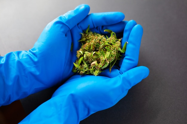 Medyczna marihuana w rękach lekarza w niebieskich rękawiczkach medycznych.