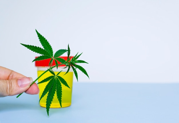 Medyczny pojemnik laboratoryjny z resztkami moczu i zielonymi liśćmi marihuany