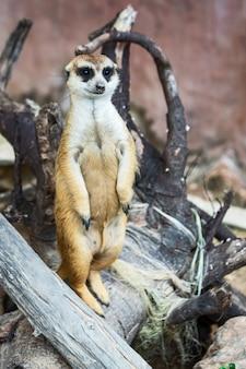 Meerkat obserwuje zbliżające się niebezpieczeństwa.
