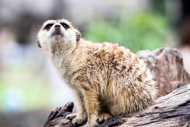 Meerkat siedzi na kamieniu w zoo