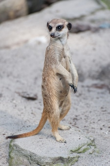 Meerkat suricate lub suricata suricatta. mały drapieżny należący do rodziny mangusty - herpestidae. afrykańskie rodzime słodkie zwierzę.