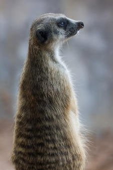 Meerkat (surikate) patrząc w parku publicznym