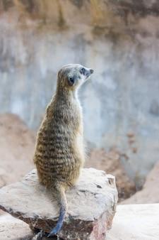 Meerkat (surikate) siedzi w zoo