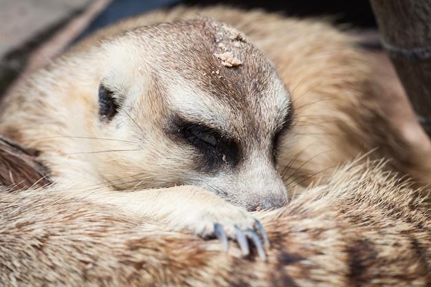 Meerkat znaleziono w khao kheow open zoo w tajlandii