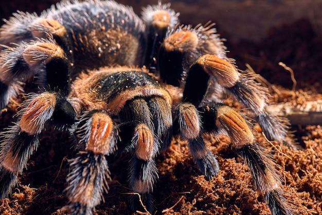 Meksykańska czerwona tarantula kolanowa