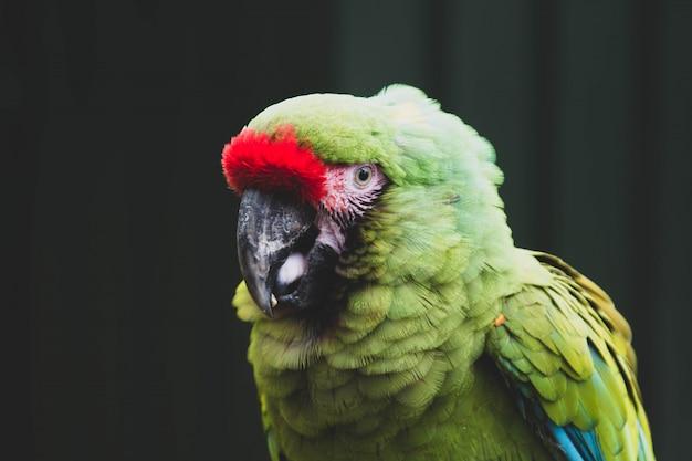 Meksykańska rudowłosa tropikalna papuga na śniadanio-lunch, zoo. ptaki kolorowe egzotyczne ptaki.