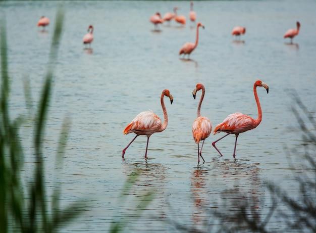 Meksykańskie flamingi brodzą w lagunie