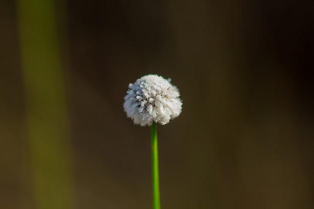 Melampodium leucanthum to krzew okrywowy. małe kwiaty zgrupowane w ciasne skupiska białych płatków.