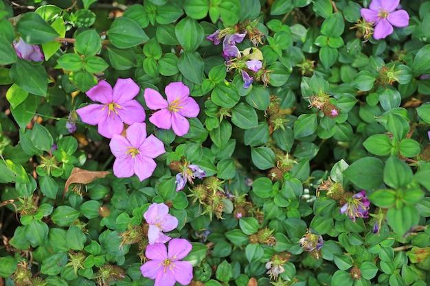 Melastome malabar (indiański rododendron), dzikie kwiaty.