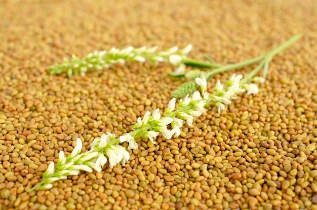 Melilotus officinalis roślina na nasionach nostrzyka, widok z góry. nasiona i roślina koniczyny białej, widok z góry. roślina nostrzyka i pęczek nasion, zbliżenie.