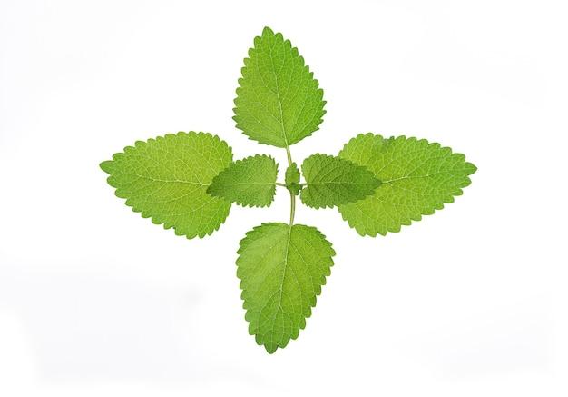 Melisa lekarska zielony liść na białym tle na białym tle odrobina ścieżki przycinającej.