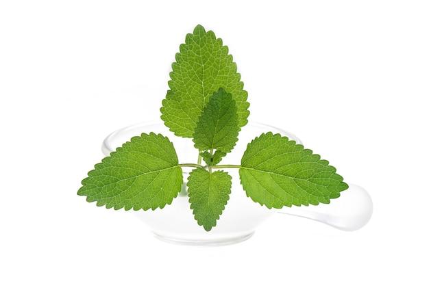 Melisa zielona liść na białym tle na białej powierzchni