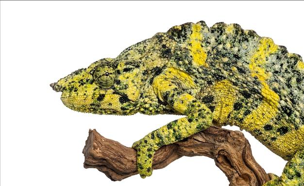 Meller's chameleon na gałęzi - trioceros melleri - na białym tle