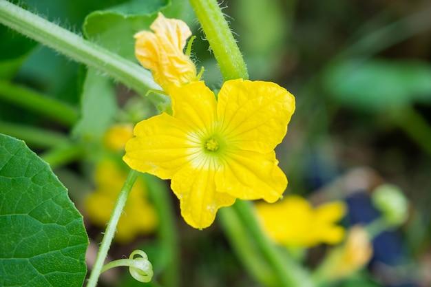 Melon kwiat żółty kolor z zielonymi liśćmi w ekologicznym ogrodzie roślinnym