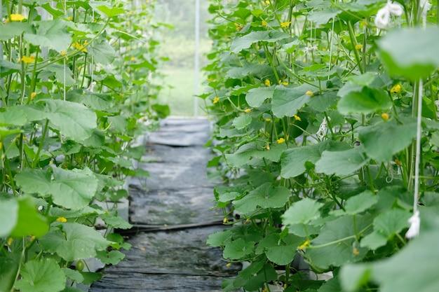 Melon rośnie w szklarni w sadzie gospodarstwa